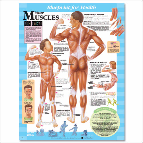 YOUR MUSCLES UNMOUNTED CHART