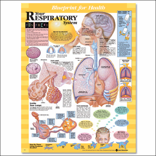 YOUR RESPIRATORY SYSTEM FLEXIBLE LAMINATION