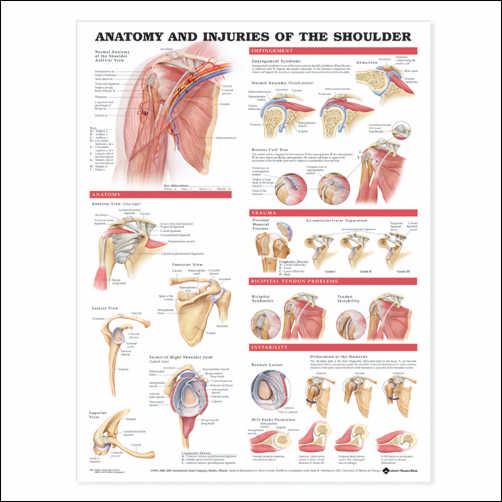 ANATOMY AND INJURIES OF THE SHOULDER - FLEXIBLE LAMINATION