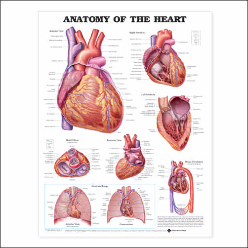 ANATOMY OF THE HEART, PAPER CHART
