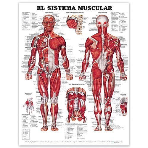 THE MUSCULAR SYSTEM IN SPANISH PAPER CHART