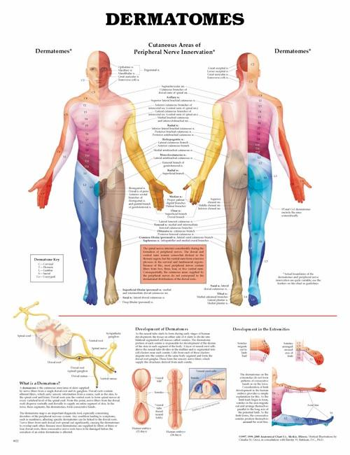 DERMATOMES, FLEXIBLE LAMINATION CHART