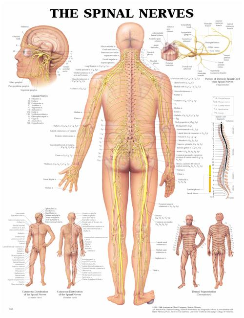 THE SPINAL NERVES FLEXIBLE LAMINATION