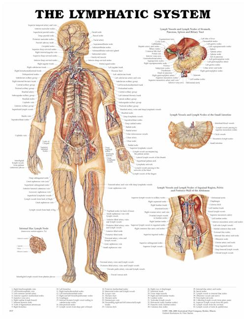 THE LYMPHATIC SYSTEM, FLEXIBLE LAMINATION CHART