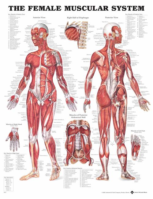 THE FEMALE MUSCULAR SYSTEM FLEXIBLE LAMINATION
