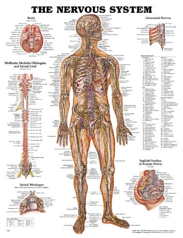 NERVOUS SYSTEM, FLEXIBLE LAMINATION CHART