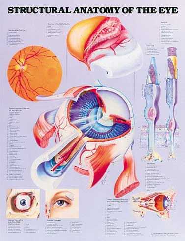 STRUCTURAL ANATOMY OF THE EYE UNMOUNTED CHART