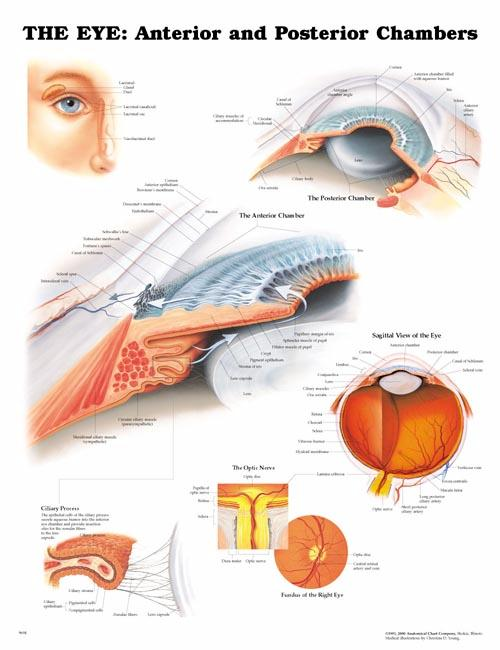 THE EYE: ANTERIOR AND POSTERIOR UNMOUNTED CHART
