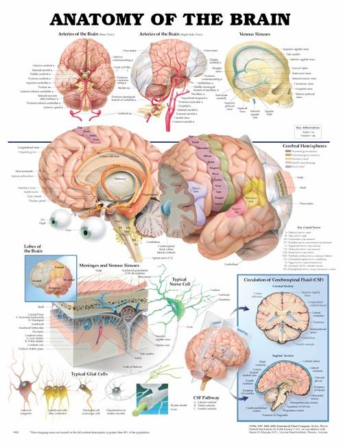 ANATOMY OF THE BRAIN UNMOUNTED CHART
