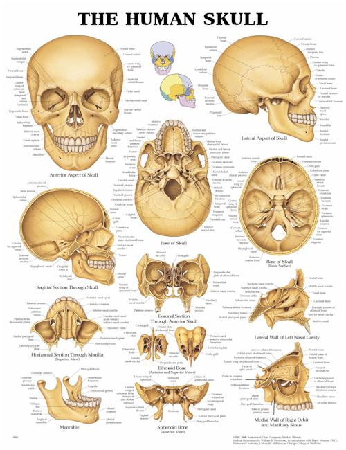 THE HUMAN SKULL UNMOUNTED CHART