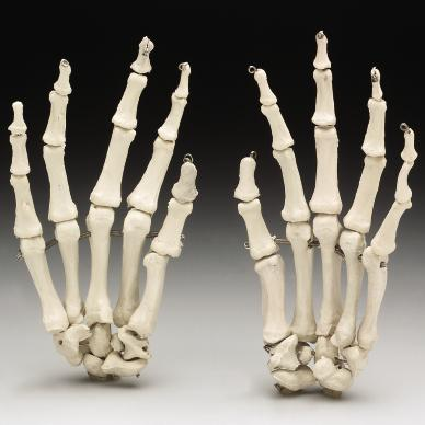 LIFE-SIZE SKELETON HANDS (4TH CLASS)