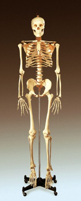 BUCKY SKELETON STAND