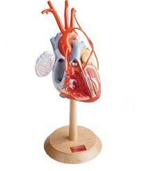 HEART OF AMERICA MODEL PLUS WITH CORONARY BYPASSES