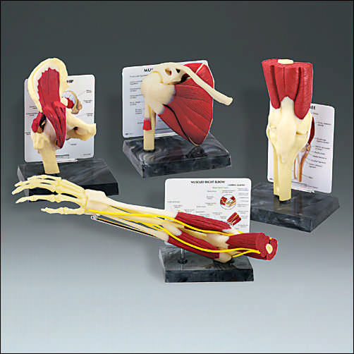 LIFE-SIZE MUSCLED JOINT SET