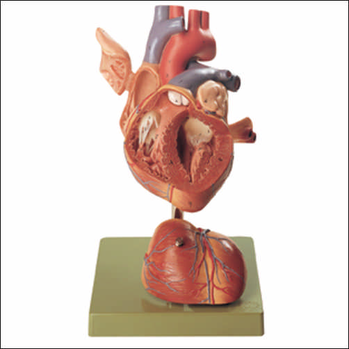 Human Heart Model Human Heart Model An Hs5 75995 All Anatomy