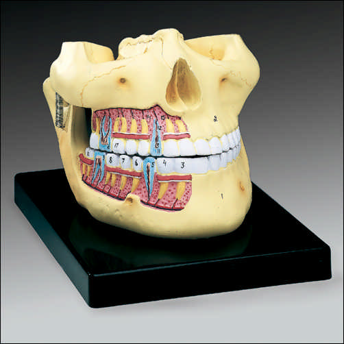 UPPER AND LOWER JAW MODEL