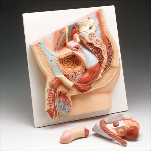 MALE PELVIC SECTION MODEL