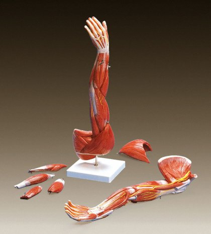 MUSCLES OF THE ARM MODEL (LEFT)