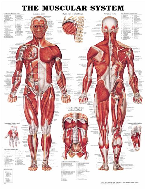 THE MUSCULAR SYSTEM UNMOUNTED CHART