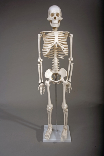 "Human Skeleton 33.5"" tall"