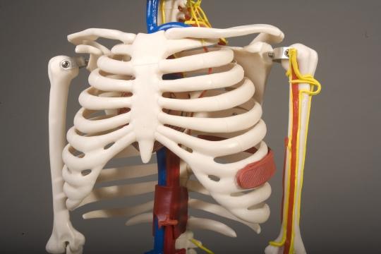 human skeleton 33.5 tall w/ nerves & blood vessels human skeleton, Skeleton