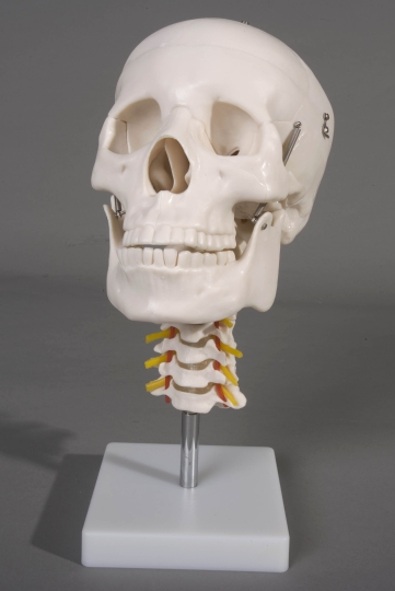 Human Skull with Cervical Spine