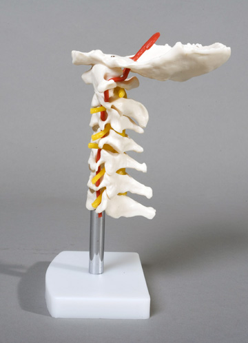 Cervical Vertebral Column with Neck Artery, Flexible