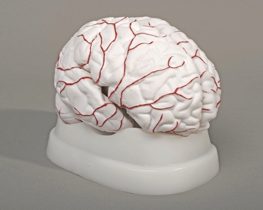 Brain Model with Arteries 8 parts
