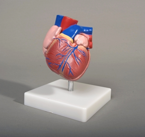 Life-Size Human Heart Model 2 piece