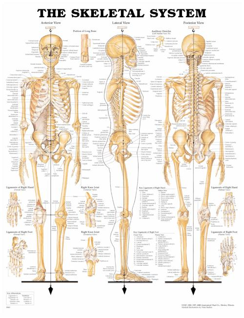 THE SKELETAL SYSTEM FLEXIBLE LAMINATION