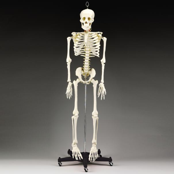 BUDGET BART 4-FT SKELETON W/ STAND 1St QUALITY
