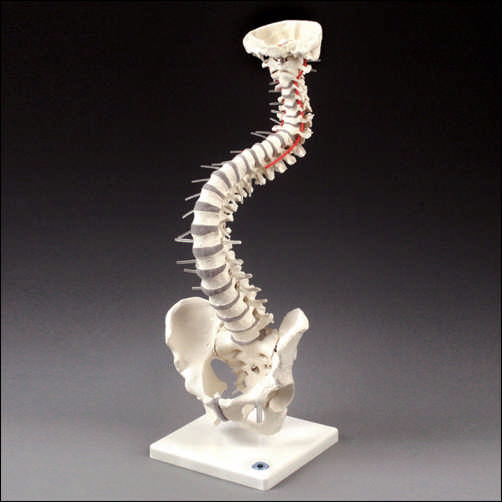 Soft Disc Vertebral Column With Stand